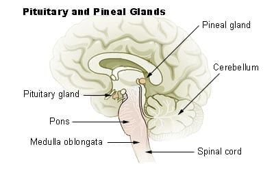 The Pineal Gland location